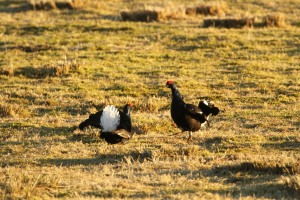 Sparring Blackcocks