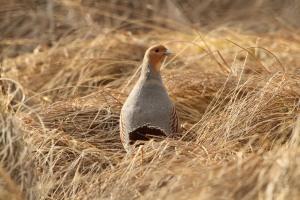 Partridge Cock