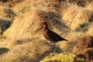 Red Grouse cock