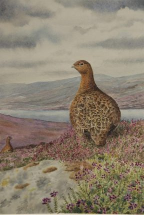 Red Grouse in the Highlands