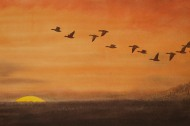 Pinkfeet Geese flying to roost