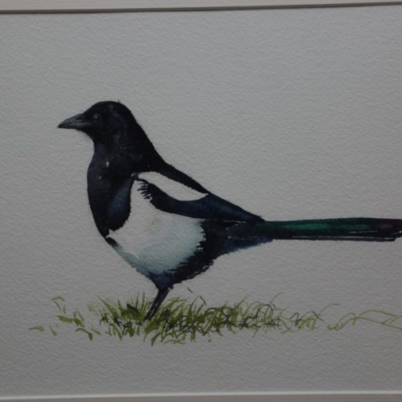 Wary Magpie